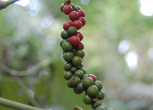 Peppercorns on Creeper, Spice Routes in Asia, Black and White Pepper Origins