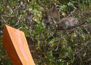 Macaques Monkey Bay, Where to Find Monkeys in Southeast Asia?
