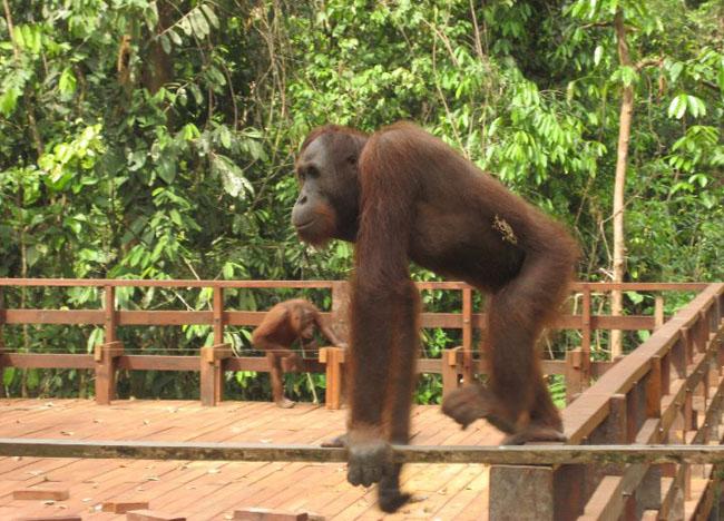 Large Orangutan Sanctuary Sepilok , Borneo Eco-Tourism Sabah Malaysia