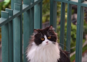 Black and White Persian Cat, Moving to Thailand Guide, Lifestyle Design