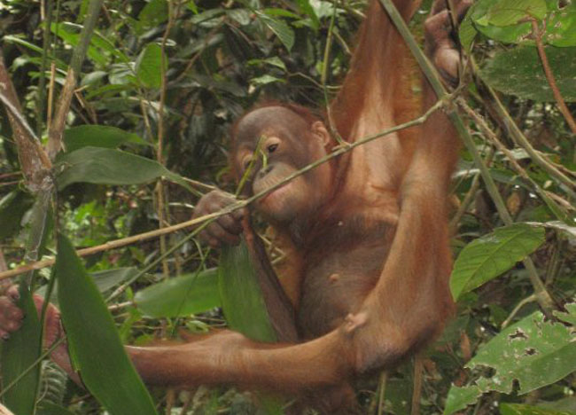 Young Orangutan Sepilok, Where to Find Monkeys in Southeast Asia?