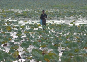 Lakes of Lotus, Living in Thailand, Nang Rong, Simple life Rural Thailand