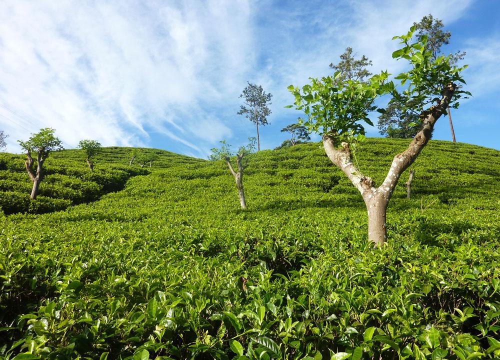 Temi Tea Garden In Sikkim  India  A Himalaya Tea Plantation