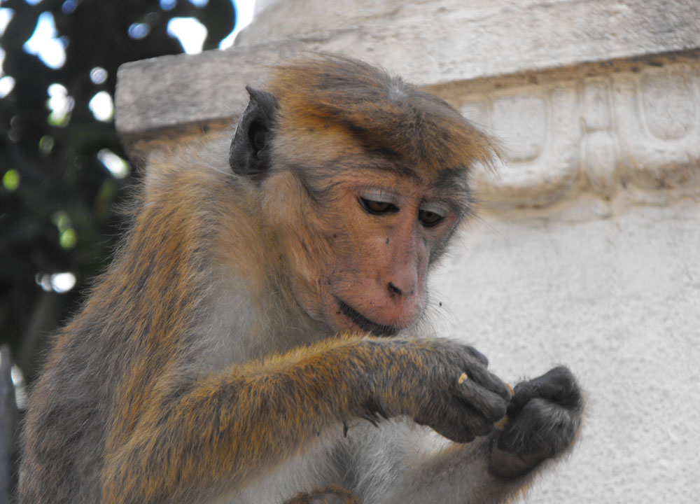 Bonnet Macaque Kandy, Where to Find Monkeys in Southeast Asia?