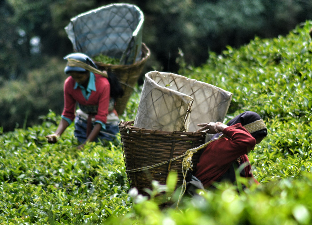Temi Tea Garden Sikkim, British Tea Plantations in Asia, Hill Stations
