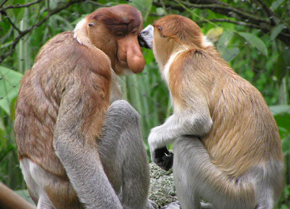 Proboscis Big Nosed Monkeys, Where to Find Monkeys in Southeast Asia?
