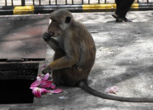 Toque Macaque Kandy Temple, Where to Find Monkeys in Southeast Asia?