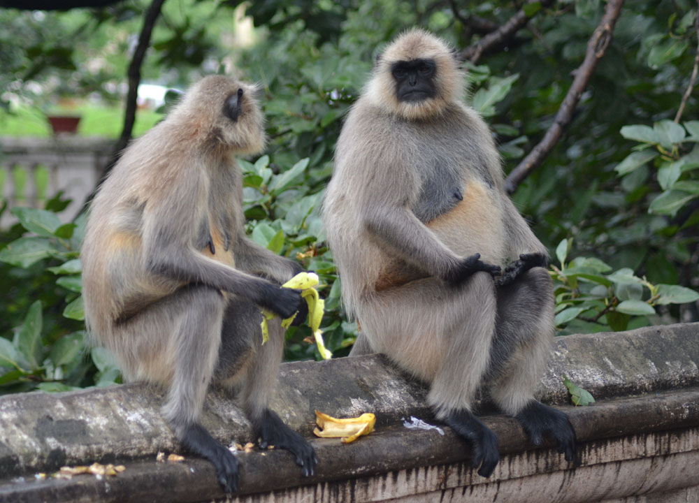 Temple Monkeys, Dakshineswar Kali Temple, Hooghly River, Kolkata