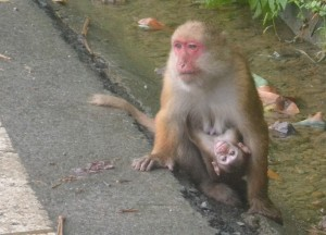 Rhesus Macaque Roadside, Where to Find Monkeys in Southeast Asia?
