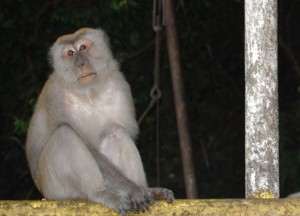 Adult Male Macaque Batu Cave, Where to Find Monkeys in Southeast Asia?