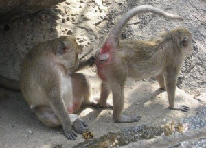 Monkey Grooming Ass, Where to Find Monkeys in Southeast Asia?