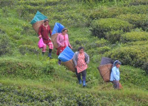 Morning Tea Pickers, British Tea Plantations in Asia, Hill Stations