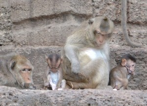 Cute Baby Monkies, Lopburi, Where to find monkeys in Southeast Asia, Thailand