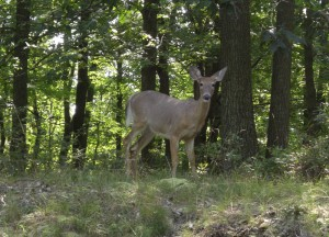 Deer in Bear Mountain, Driving Road Trip in America, New York State
