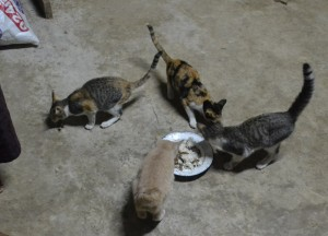 Local Cats Living in Thailand, Nang Rong, Simple life Rural Thailand
