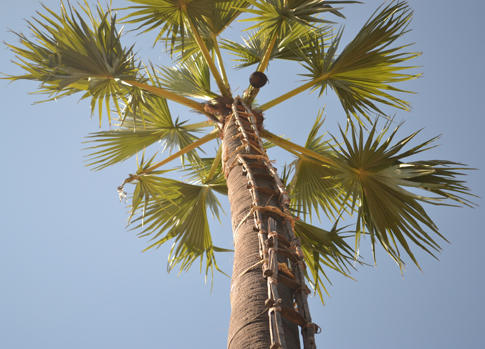 Coconut Palm Tree, Making Palm Wine in Burma, Potent Alcohol from Palm Trees