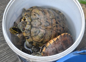 Turtles in Bucket, Attractions in Nonthaburi, Bangkok
