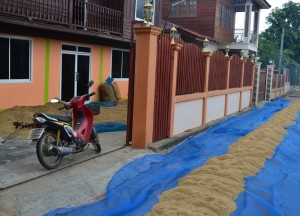 Drying Rice, Living in Rural Thailand, Isaan North East Thailand