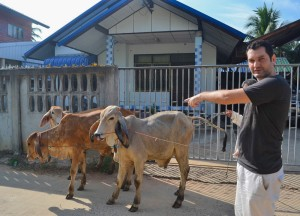 Walking Cows, Living in Rural Thailand, Isaan North East Thailand