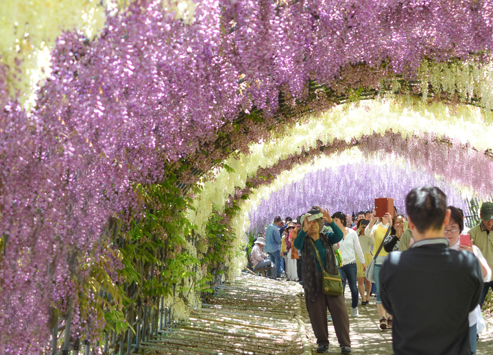 Travel to kawachi fuji garden and wisteria tunnel in Wisteria flower tunnel path in japan