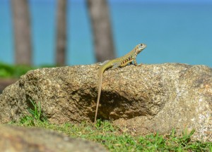 Garden Lizards, Best Areas to Stay in Phuket Phang Nga Bay