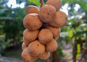 Bunch of Longan, Weird Fruits of Thailand