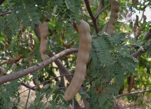 Tamarind Tree, Weird Fruits of Thailand