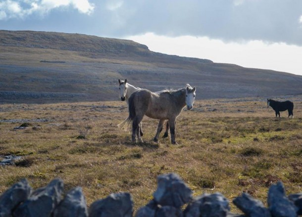 Horses at Burren, Best Road Trips in Europe Fly and Drive Holidays