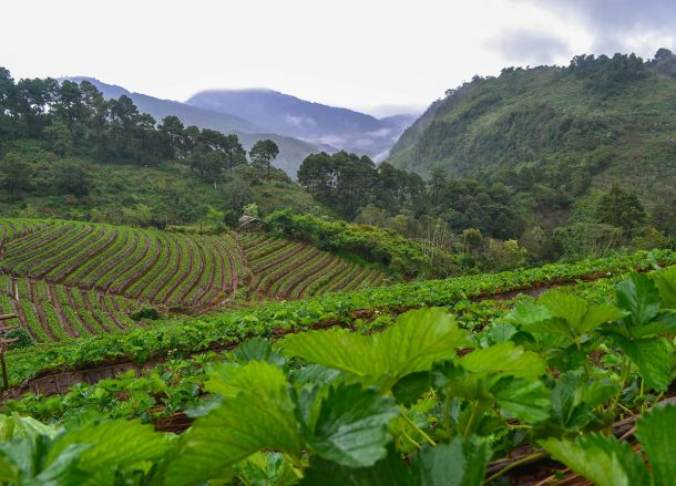 Strawberry Fields, Top 10 Attractions in Chiang Mai Province Thailand