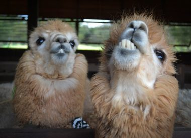 Goofy Alpacas, Romance in Khao Yai DusitD2 Resort Thailand