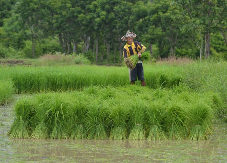 Dam Na Rice Fields, Book Living in Thailand Isaan: Potato in a Rice Field