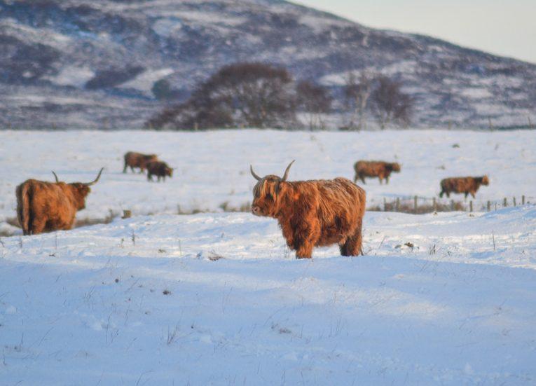 Wild Highland Cattle, Loch Lomond Viewpoint Winter Road Trip in the Scottish Highlands Snow Scotland