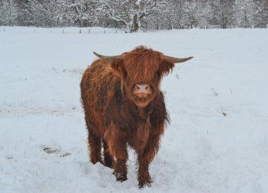 Highland Cattle, Loch Lomond Viewpoint Winter Road Trip in the Scottish Highlands Snow Scotland